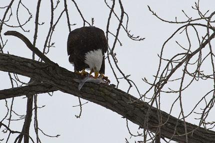 _eagles 1a-
