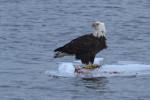 _eagles 8a