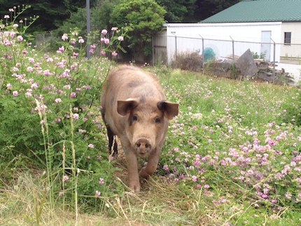 NSL_Southtown_Pig