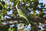 Parakeet_Nyack