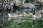 Geese, Tuxedo Lake, Tuxedo Park, NY