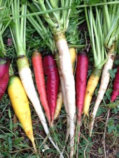 seed_xchg_carrots