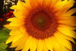 seed_xchg_sunflower