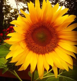 seed_xchg_sunflower