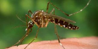 Zika purveyor Aedes aegypti mosquito zika carrier CDC