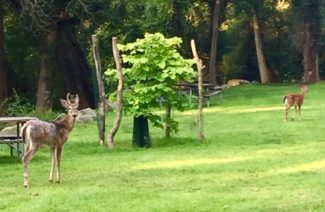 deer, Nyack Beach State Park, plateau. Photo Credit: Mike Hays. Nyack People and Places